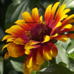 Blog -Zowie yellow flame zinnia - cydrust